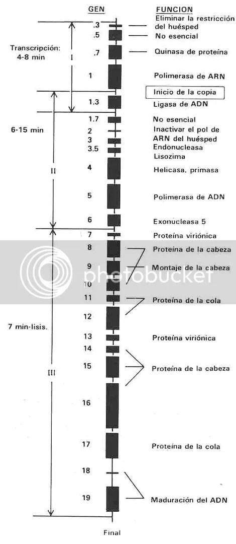 La biblioteca genética del virus T7. Este hilo corto de ADN contiene unos veinte genes con todo lo que este organismo ha de saber para invadir una bacteria y apoderarse totalmente de la célula huésped. La información, escrita en lenguaje de ADN a través de la secuencia de nucleótidos, incluye instrucciones para duplicar sus instrucciones de ADN y su cabeza y cola proteínica, y para hacer uso de la maquinaria química de la bacteria atacada. La célula bacterial deja de ser una fábrica para hacer más bacterias y se convierte en una fábrica para hacer más T7. (De la obra DNA Replication de Arthur Komberg, W. H. Freeman and Company, 1980. © 1980.)
