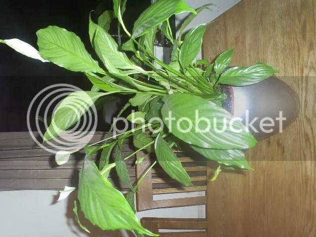 Iemand enig idee hoe deze kamerplanten heten  Boktnl