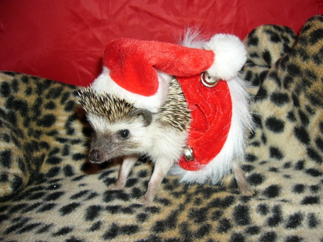 Image result for hedgehog in costume