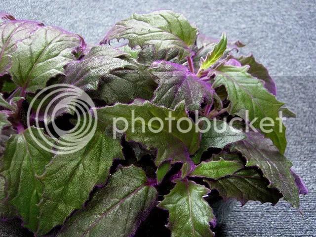Gynura aurantiaca Purple Passion