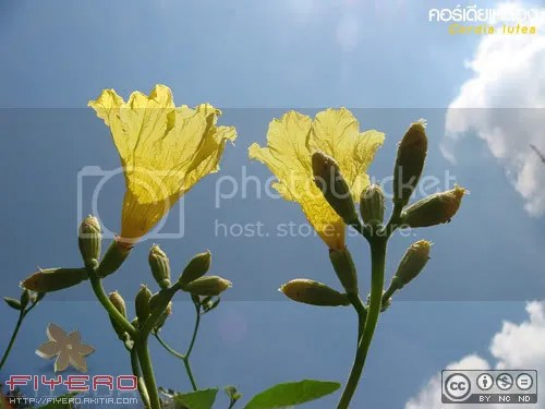 คอร์เดียเหลือง, Cordia lutea, ต้นไม้, ดอกไม้