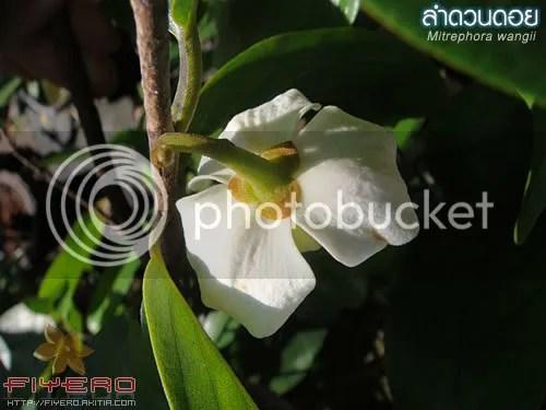 ลำดวนดอย, Mitrephora-wangii, ไม้วงศ์กระดังงา, ต้นไม้, ดอกไม้