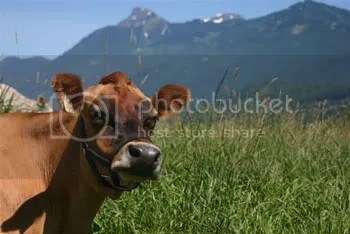Jersey cow from Home on the Range sniffs the mountain air.