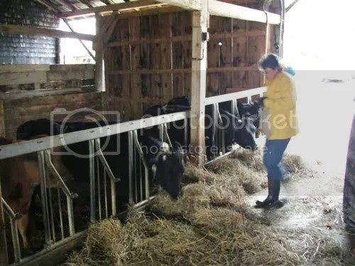 MNR Investigator Susan Atherton feeds cows at Glencolton Farm. Susan Atherton is the Undercover Cow share member under the false Name Susan Taylor.