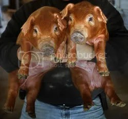Cloned pigs.