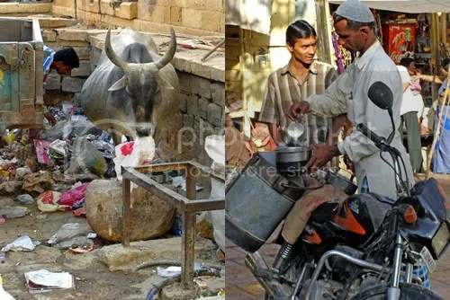 Holy cow forages for edible cardboard while Indian milkman makes his rounds on a motorbike