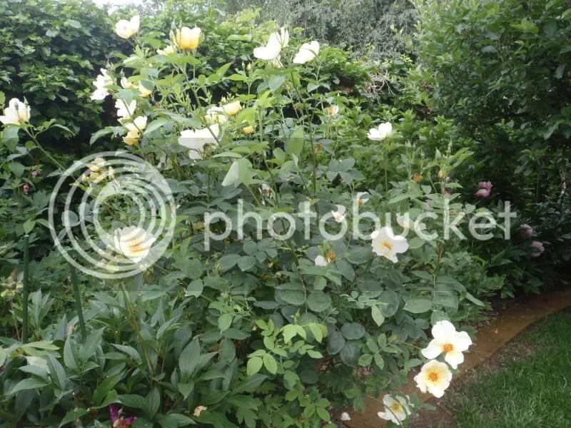 talee di rose ne parliamo un attimo  Forum Giardinaggio