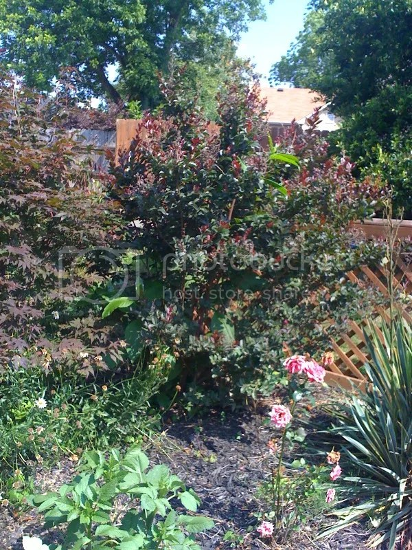 quotChocolatequot Black Mimosa Tree THE GARDEN SPOT Pauldingcom
