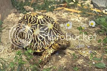 SIGS 烏龜飼育小冊(16):印度星龜 - 沼澤缸之家