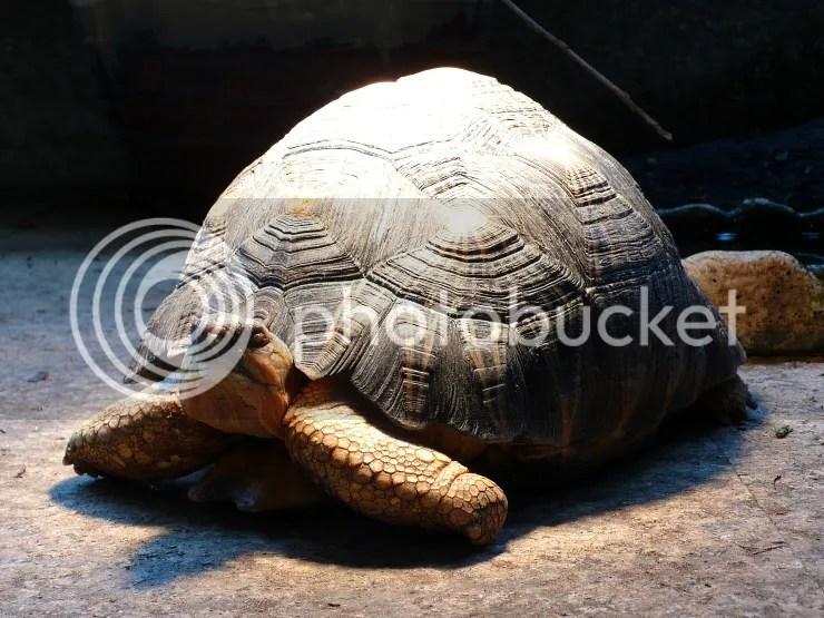 輻射龜感染肺炎首度就醫 - 沼澤缸之家