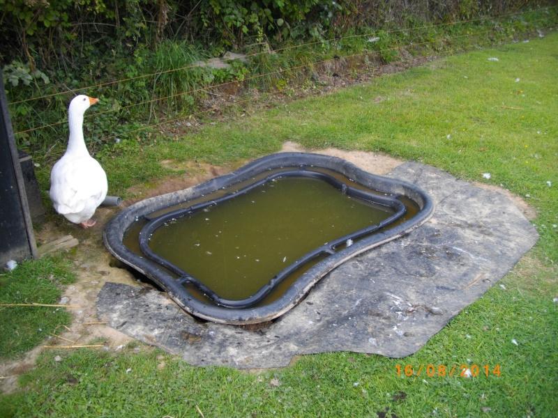 bassin poisson carpe koi
