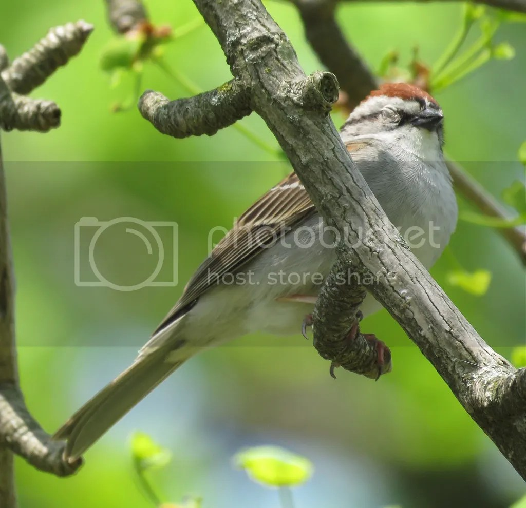 Chipping Sparrow by James Zainaldin - La Paz Group
