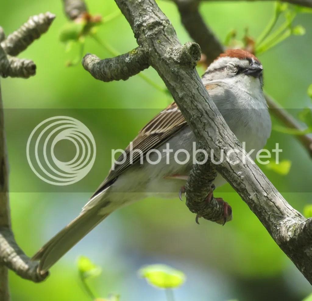 Chipping Sparrow by James Zainaldin - La Paz Group