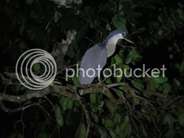 Boat-billed Heron by Seth Inman - La Paz Group