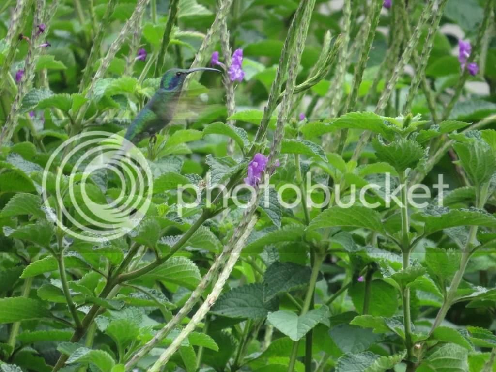 Green Violetear by Seth Inman - La Paz Group