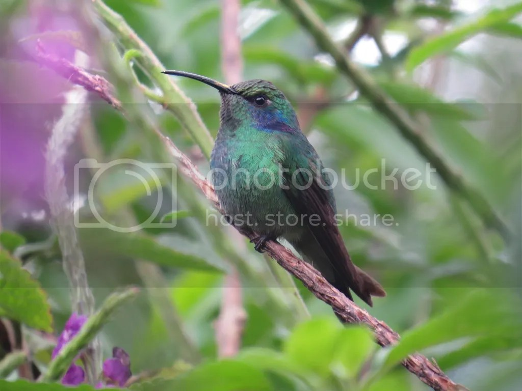 Green Violetear by Seth Inman - La Paz Group
