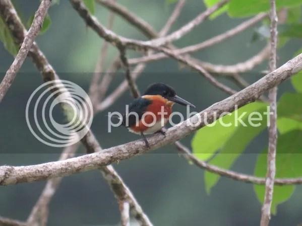 American Pygmy-Kingfisher by Seth Inman - La Paz Group