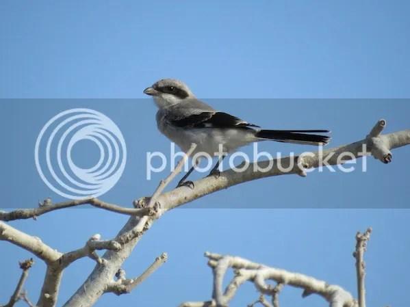 Loggerhead Shrike by Seth Inman - La Paz Group