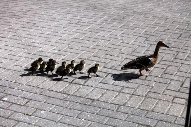 The ducks head off towards the Strawberry