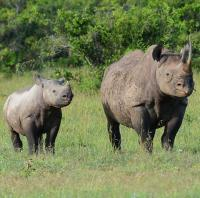 black rhinos on Ol Pejeta