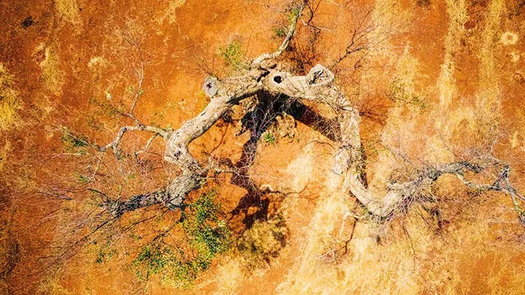 Zeytin ağacı katili bakteri 1