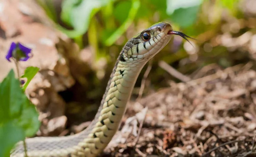 Sürü halinde yılan görülmesine ait açıklama 1