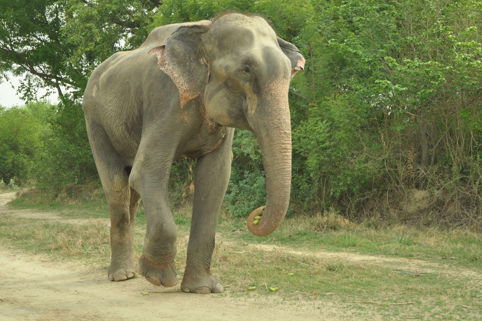 Raju the elephant free at last