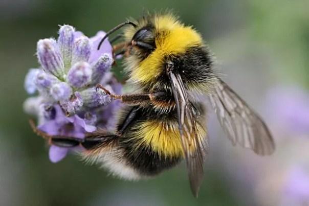 Un abejorro de punta blanca masculina, que es uno de 250 especies de abejas en el Reino Unido