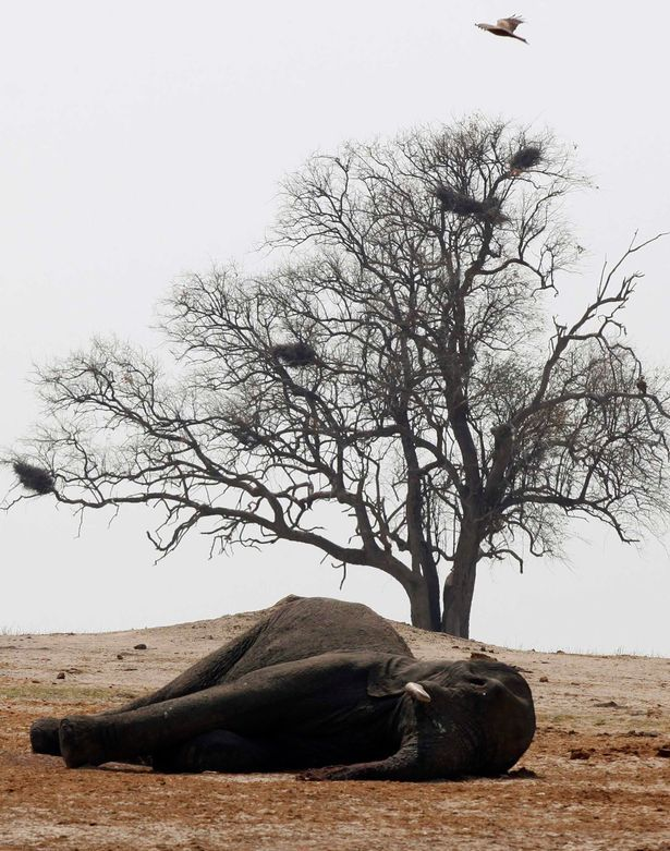 Birds hover over the carcass of an elephant
