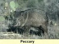 peccary,javelina