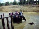 Crazy Elephant falls in river with people