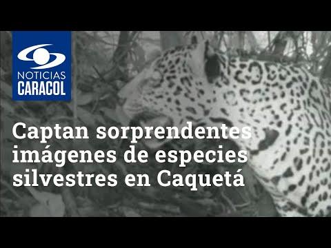 Con cámaras trampa, captan sorprendentes imágenes de especies silvestres en Caquetá