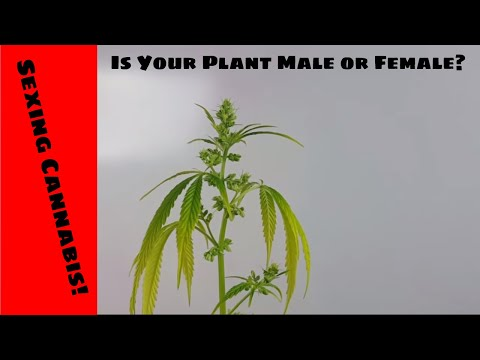 Male Vs Female | How To Tell If Your Cannabis Plant Is Male Or Female When Starting From Seed