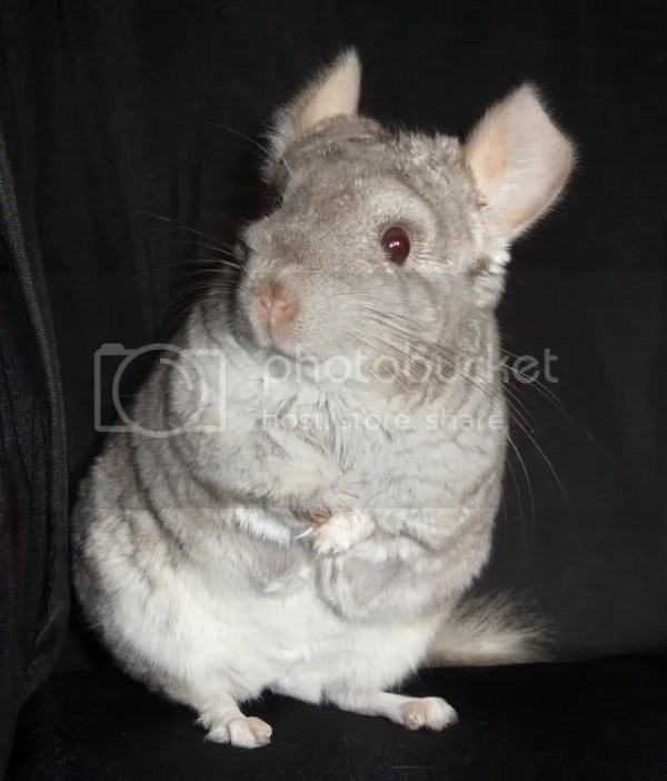 Chinchillas Club Ver Tema Quieres que tu chinchilla