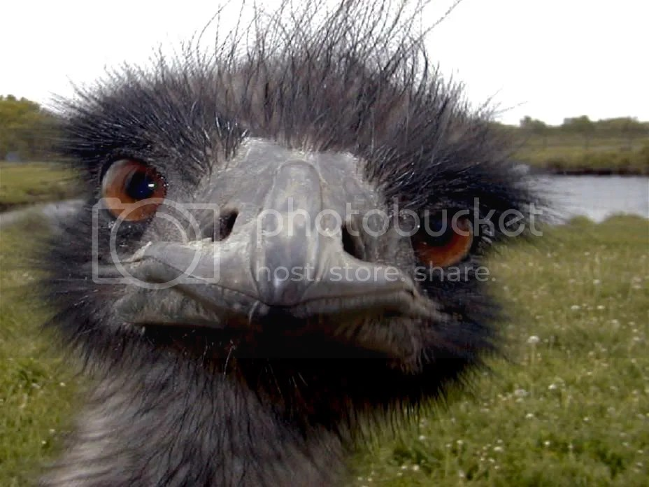 Emu photo emu_face001.jpg