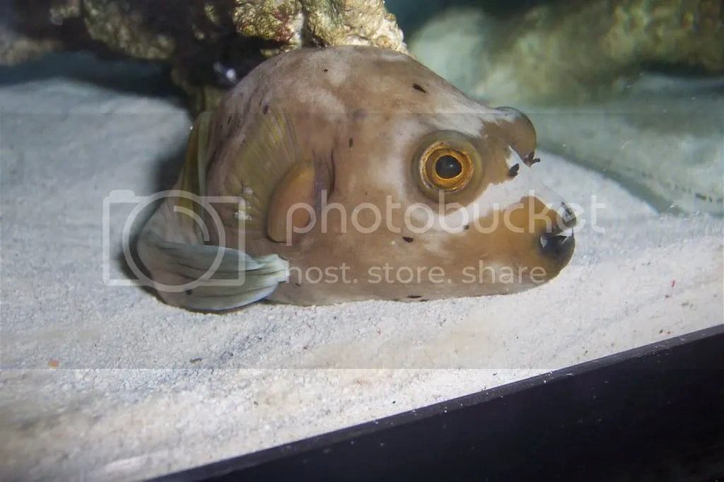 Dog face puffer that right now is in QT at my LFS Pictures, Images and Photos