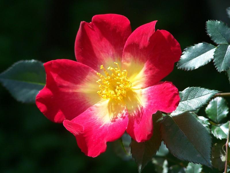 la rosa misteriosa  Un quadrato di giardino