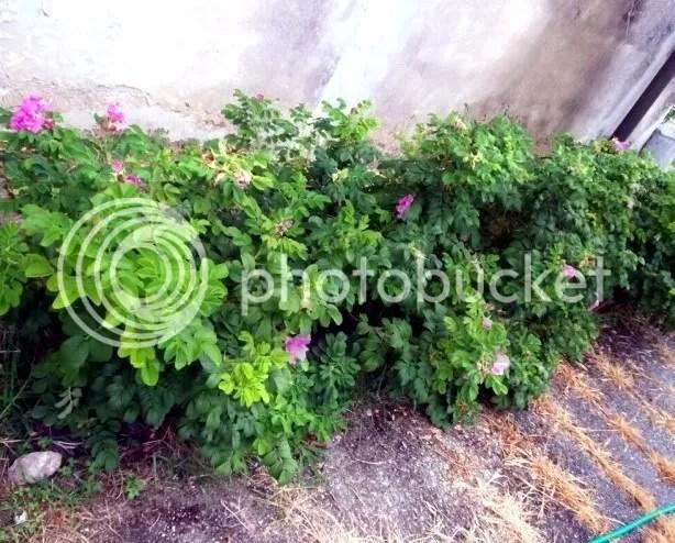 Rose coprisuolo  Forum di Giardinaggioit