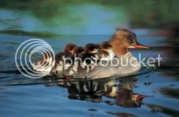Duck Mom