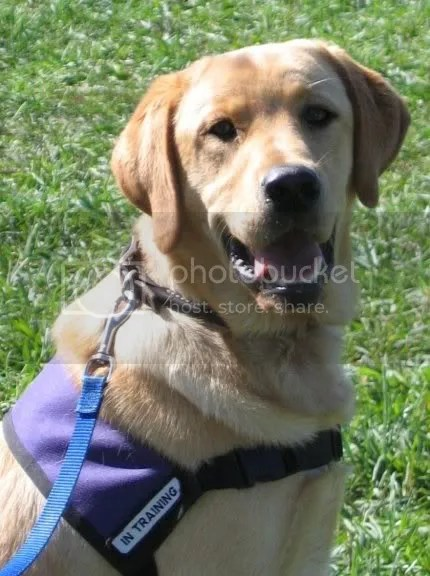 A student service dog - yellow labrador retriever