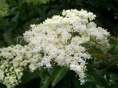 Elderflower Pictures, Images and Photos