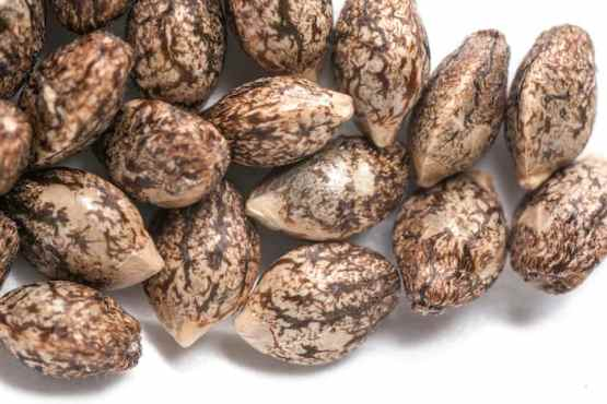 Hybrid Cannabis Seeds