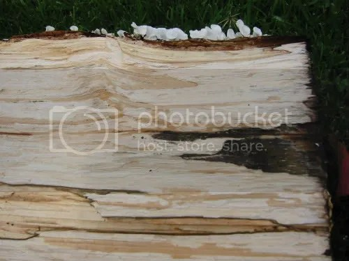 Spalted log