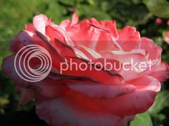 rosa strumpet