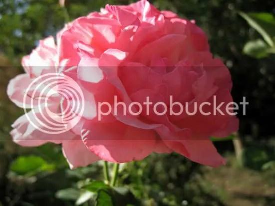 rosa splendida