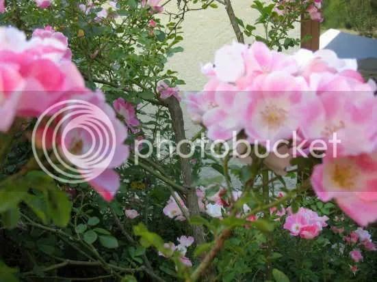 rosy shrub rose