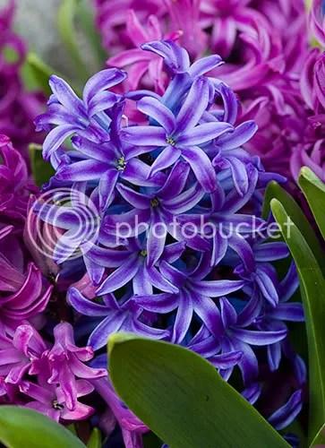 https://i0.wp.com/i43.photobucket.com/albums/e373/unikfem/hyacinth-flowers.jpg
