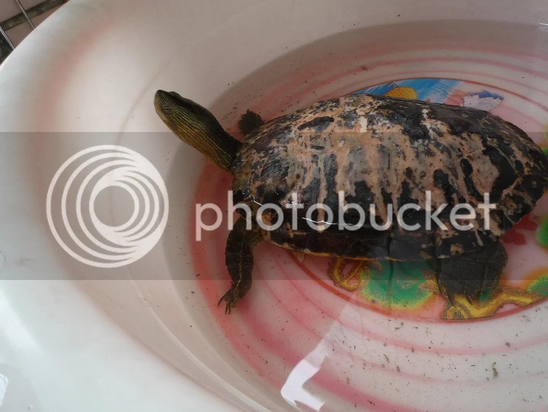 撿到的斑龜