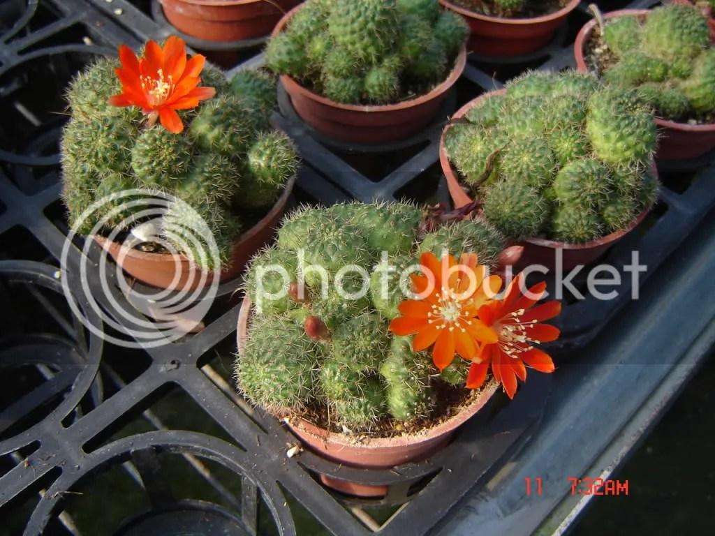 【分享】仙人掌開花的照片(阿樹久等了) - yamazakicat5的創作 - 巴哈姆特