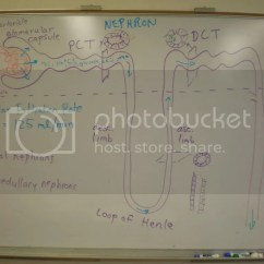 Nephron Diagram From A Textbook Water Heater Wiring Diagrams Photo By Mrmattoglesby Photobucket